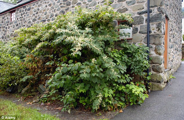 Japanese knotweed can grow up to 10cm per day and can force its way through tarmac causing damage