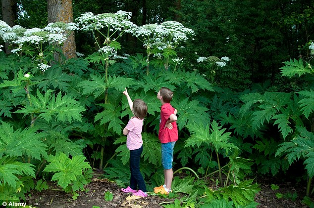 Giant hogweed is also a dangerous invasive plant whose sap can cause blistering on the skin