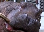 Hippo cries after jumpIng from moving truck in Taiwan