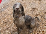 Manny, in eighth place, loves to roll around in the mud and spread mucky footprints around his Becky Shorting's home in Norwich
